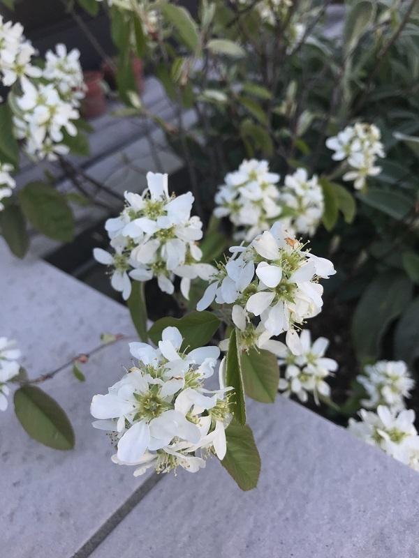春です。ジューンベリーの白い花